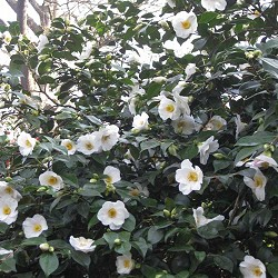 Cannizaro Park - Camellias