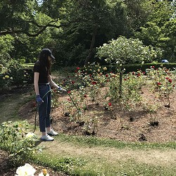 Watering the Rose Garden